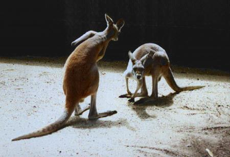 Two kangaroos.